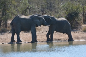 elephants playing at the waterhole